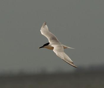 Sandwich Tern  South Padre Island Texas 2012 03 20-2356.CR2