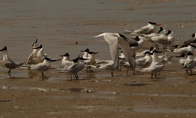 Sandwich Tern  South Padre Island Texas 2012 03 20-2343.CR2