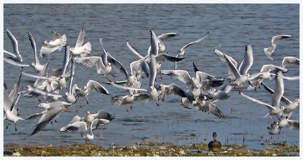 """""""Duck!!"""" Black-headed Gulls (Chroicocephalus ridibundus), Wilstone Reservoir, Hertfordshire, 14/02/2011."""