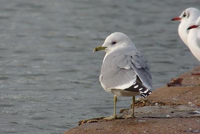 Common Gull (Larus canus), Gosport, Hampshire, 01/12/2012.
