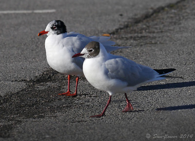 Mediterranean Gull & Common Gull