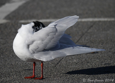 Mediterranean Gull (Larus melanocephalus), Radipole Lake RSPB, Nr Weymouth, Dorset, 18/02/2014. Note the beautiful all white wings.