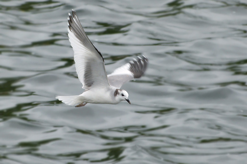 Sabine's Gull (Larus sabini), Startop's End Reservoir, Hertfordshire & Buckinghamshire, 03/07/2012. You can see again the beginnings of the lighter tip to the bill.