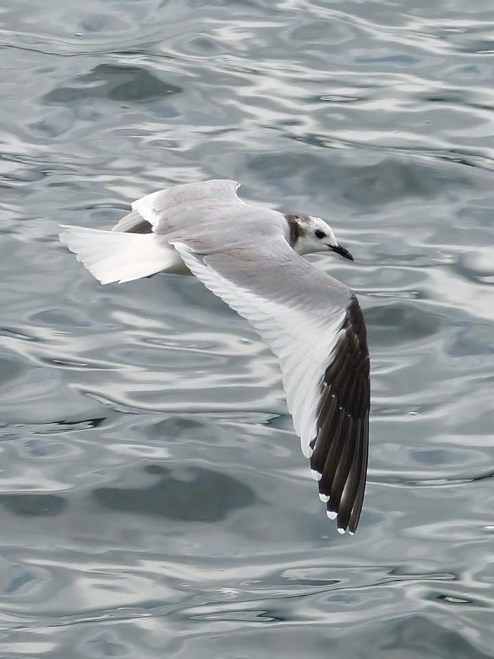 Sabine's Gull (Larus sabini), Startop's End Reservoir, Hertfordshire & Buckinghamshire, 03/07/2012.