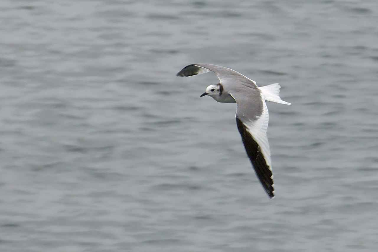Sabine's Gull (Larus sabini), Startop's End Reservoir, Hertfordshire & Buckinghamshire, 02/07/2012.
