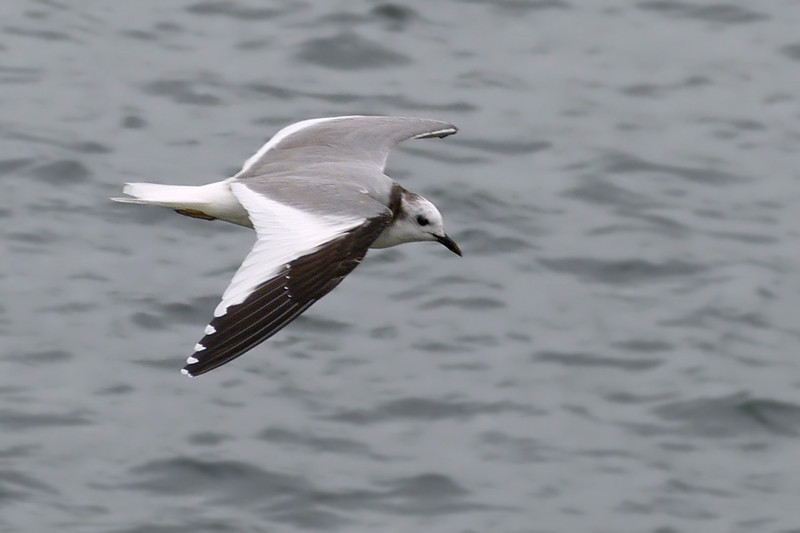 Sabine's Gull (Larus sabini), Startop's End Reservoir, Hertfordshire & Buckinghamshire, 02/07/2012. My first sighting of this very scarce passage migrant (the last record in Herts was in the late 1980s). A 1st Summer (non-breeding) bird giving wonderful, close views as it swooped up and down along the edges of the reservoir, within just a few metres (at eye level). High winds; grey, leaden skies and almost constant drizzle meant that photographs, with a small sensor camera, were never going to be great. However, I was pleased with the handful that just about worked out.