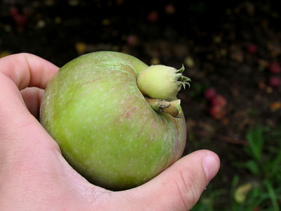 My apple has a strange growth on it... so we took a picture and then left it behind...