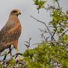 Savanna Hawk (Buteogallus meridionalis)