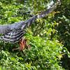 Harpy Eagle (Harpia harpyja)