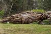 Fallen totem pole, S'Gang Gwaii (Nistints), Haida Gwaii, British Columbia