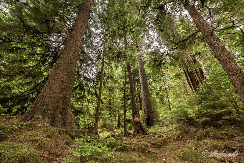 Trail through the old-growth forest to the 800 year old giant Sitka spruce, Lyell Island, Haida Gwaii, BC