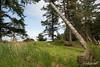 Sitka deer (Odocoileus hemionus sitkensis) grazing next to a leaning potlack pole, K'uuna Llnagaay, Gwaii Haanas, BC