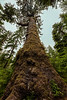 Looking up towards the crown of an 800 year old Sitka spruce, Windy Bay, Lyell Island, BC, vertical