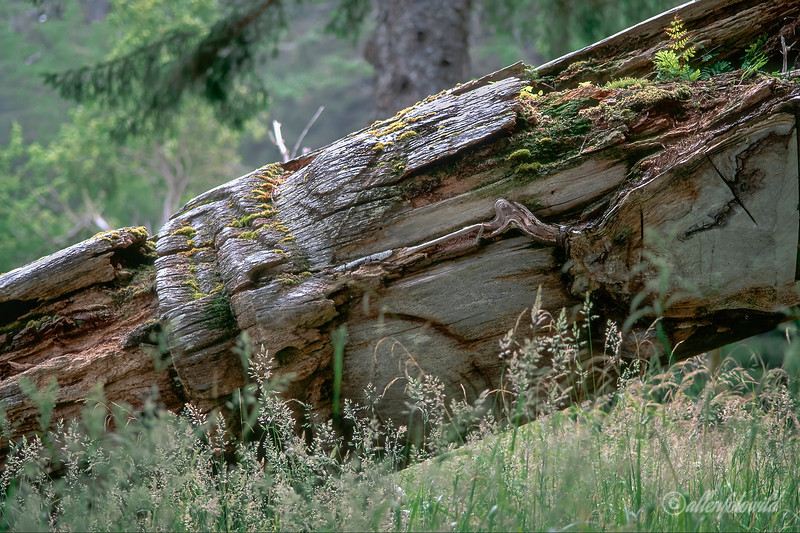 Fallen Haida mortuary pole, S'Gaang Gwaii (Anthony Island), South Morseby National Park, Queen Charlotte Islands, British Columbia
