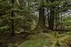 Old-growth western hemlock, red cedar and Sitka spruce, along Windy Bay creek, Haida Gwaii, BC