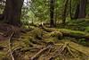 Old-growth western hemlock, red cedar and Sitka spruce, heavily browed mossy understory  Windy Bay, Haida Gwaii, BC