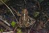 Haida Gwaii toad