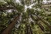 Looking up at the old-growth tree tops Western hemlock, Western red cedar and Sitka spruce, Lyell Island, Haida Gwaii, British Columbia