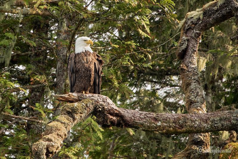Adult bald eagle (Haliaeeetus leucocephalus) sitting on a Sitka spruce branch, Burnaby Narrows, Gwaii Haanas, Haida Gwaii, BC
