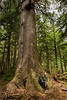 Photograher standing by the trunk of a huge Sitka spruce tree, Moresby Island, Haida Gwaii, BC