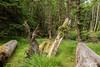 Haida pit house with fallen beams and salal growing at the top of a house post, Kuuna Llnagaay, Gwaii Haanas, BC