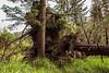 Uprooted Sitka spruce (Picea sitchensis), S'Gang Gwaii, Anthony Island, Gwaii Haanas Haida Heritage Site, Haida Gwaii, BC