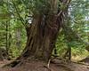 Ancient Western red cedar tree, Lyell Island, Haida Gwaii, BC