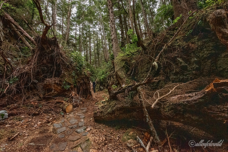 Storm damaged path through the interior of Anthony Island, Haida Gwaii, BC