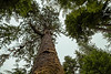 Looking up towards the crown of an 800 year old Sitka spruce, Windy Bay, Lyell Island, BC