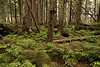 North temperatre rain forest with moss and seedings, interior of Anthony Island, Haida Gwaii, British Columbia