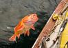 Yelloweye rockfish (Sebastes ruberrimus) for supper, Haida Gwaii, British Columbia