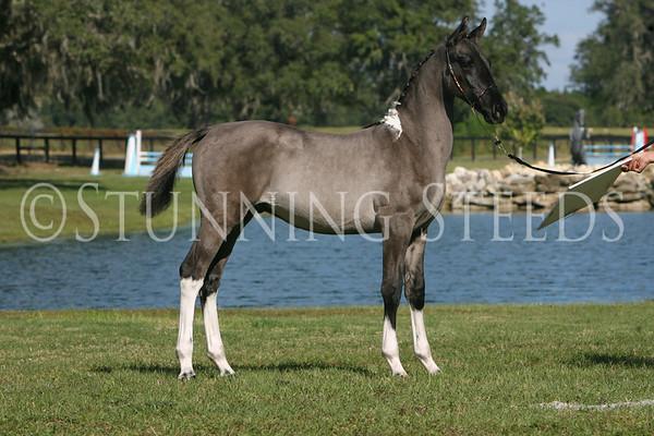 Broadmoor Equestrian - Friesian-Warmblood Colt
