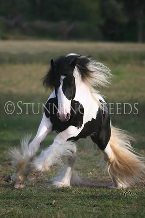 Mo Latcho - Stallion