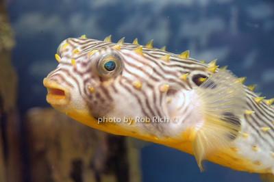Puffer Fish photo by Rob Rich/SocietyAllure.com © 2012 robwayne1@aol.com 516-676-3939