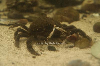 spider crab photo by Rob Rich/SocietyAllure.com © 2012 robwayne1@aol.com 516-676-3939