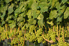 Ripening Grapes at the Wolffer Estate Vineyard'sTwilight Thursday in Sagaponack. (August 9, 2012)<br /> photo credit:Rob Rich/SocietyAllure.com