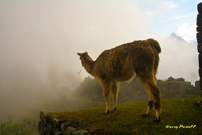 LLama at dawn, Machu Pichu, Peru