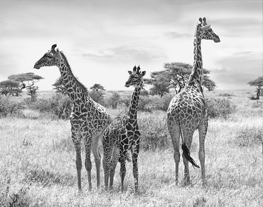 giraffe family, Tanzania