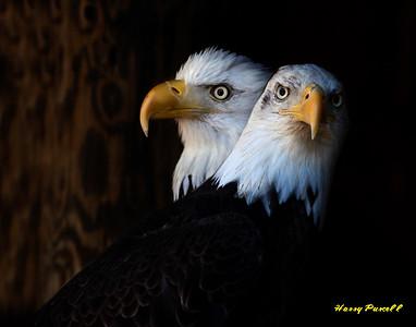 American Bald Eagles, Wildlife Rescue center, Pensacola, Florida