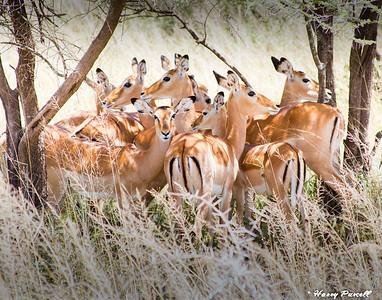 harem of Impalas, Tanzania