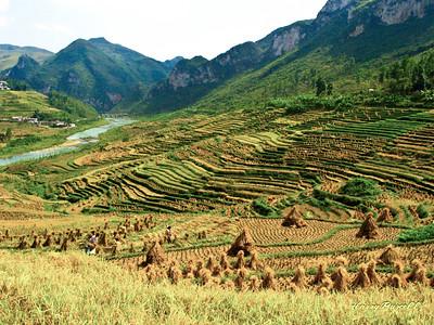 rice pattys China
