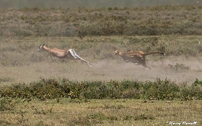 Chettah chasing Impala, Tanzania   the Impala escaped this time