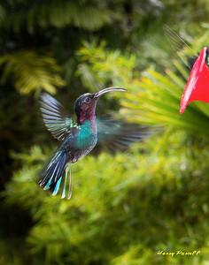 Purple throated Carib hummingbird, Martinique