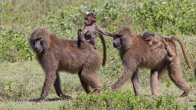 female Baboons with babies, Tanzania