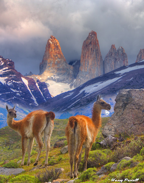 Torres del Paine NP, Chile (Patagonia) Guanacos in foreground