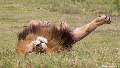 lazy male Lion, Tanzania