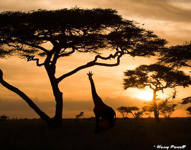 Giraffe in the sunset, Tanzania