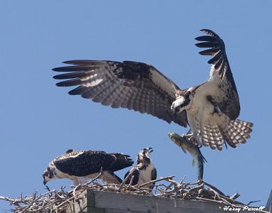 female Osprey bringing a fresh catch to her babies, Pensacola Beach, Florida