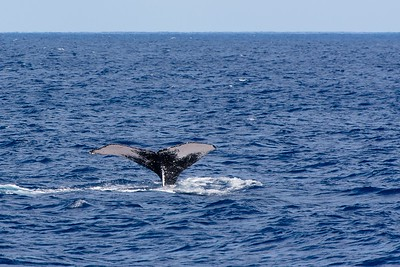 Diving Humpback Tail