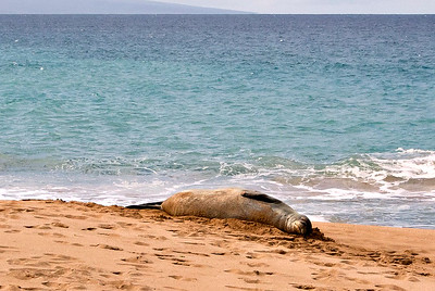 Endangered Monk Seal, Maui